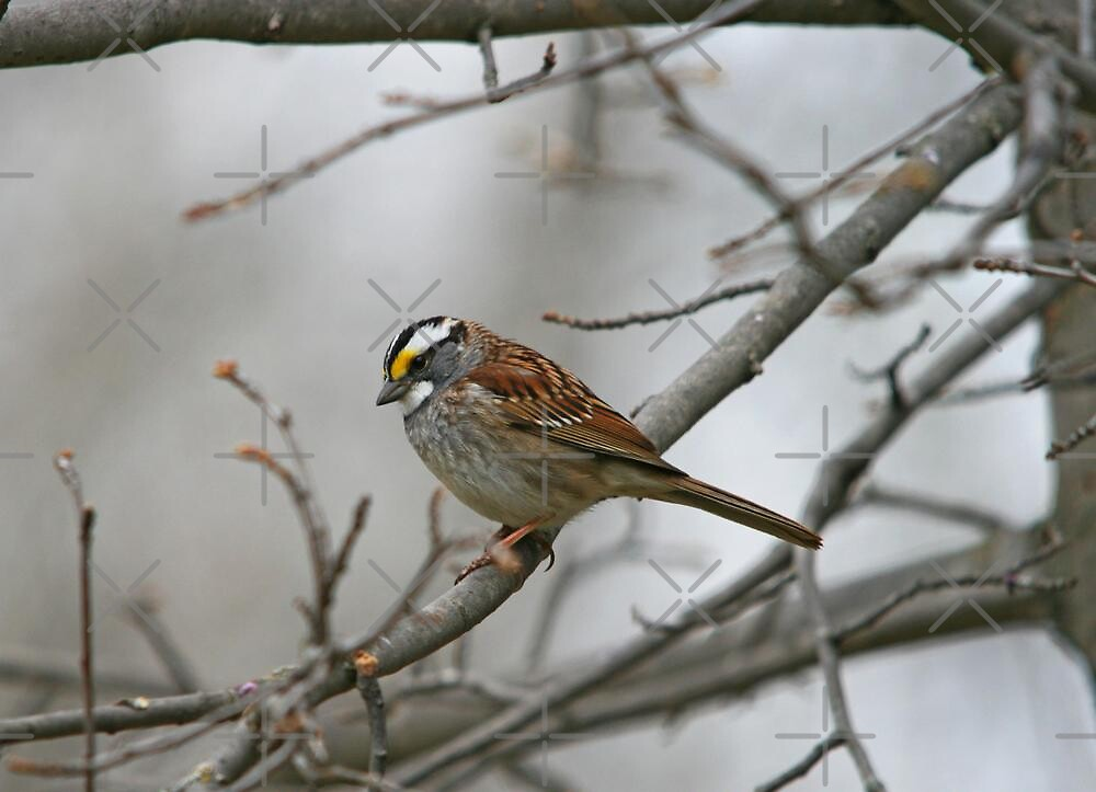 White-throated Sparrow by Vickie Emms
