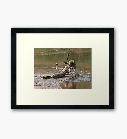 Young Lions Playing In Water Framed Print