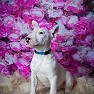 Mylo // English Bull Terrier (Puppy) by Peggy Colclough