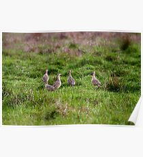 Long-billed Curlew Poster