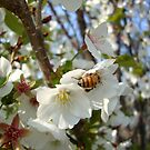 Cherry Blossom Bee by emilycolors