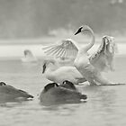Trumpeter Swans in the mist. by Michael Cummings