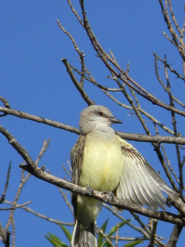 Western Kingbird Cleaning His Feathers by Navigator