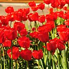 Tulips by funkybunch