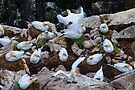 A day in the life ... of a gannet colony, Saltee Island, County Wexford coast, Ireland by Andrew Jones