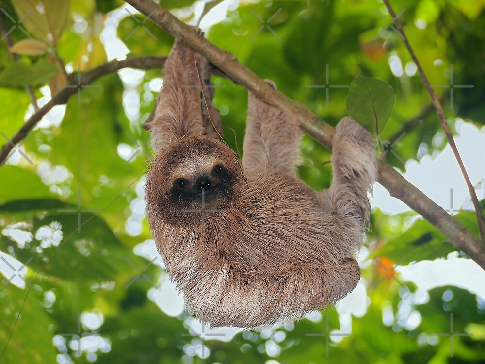 Brown throated sloth in the jungle by Dam - www.seaphotoart.com