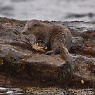 Otter with crab by wildlifephoto