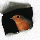 Robin  by Sean Farragher