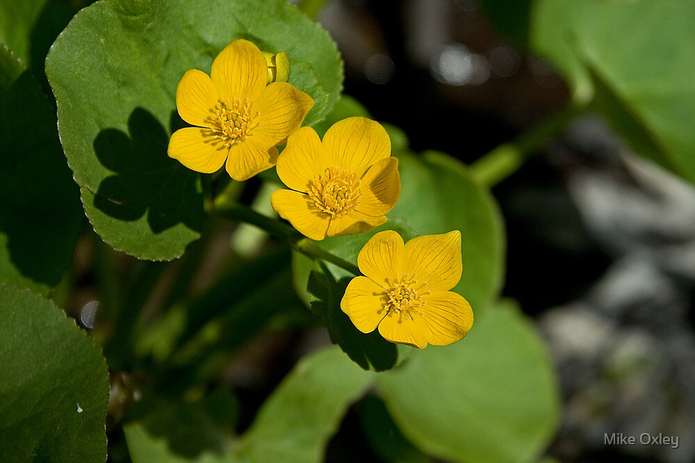 Marsh Marigold by Mike Oxley