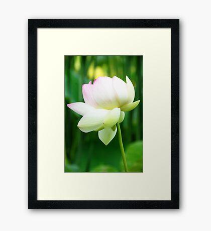 Lotus Flower - Big Bone Lick Gardens, Kentucky Framed Print