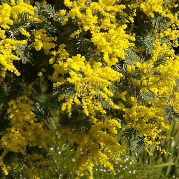 Golden Wattle by BlueWrenArt