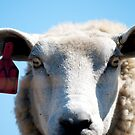 Sheep Portrait by Duncan Macfarlane