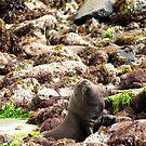 Seal in disguise  by Duncan Macfarlane