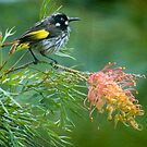 New Holland Honeyeater by Dilshara Hill