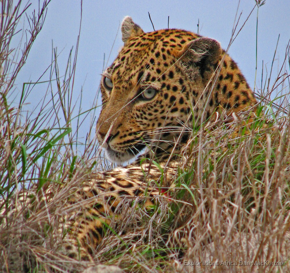 Spotted beauty - Leopard by Explorations Africa Dan MacKenzie