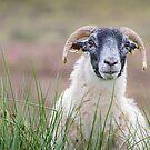 Sheep portrait by Dominika Aniola