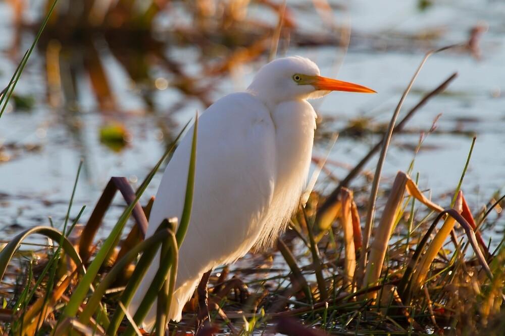 Days End Egret  by byronbackyard