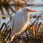 Days End Egret  by byronbackyard