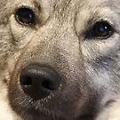 Baby Bear Wolf Face: Norwegian Elkhound Close Up by CreativeEm