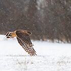 Northern Harrier hunting by Jim Cumming
