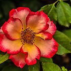 Wild Rose Sunrise by Gregory J Summers
