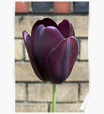 Black Queen .. Tulip Poster
