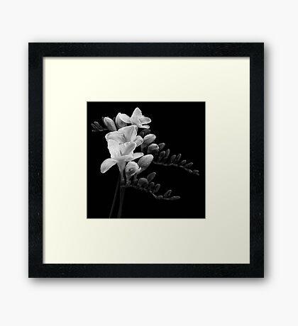 White Freesia Framed Print