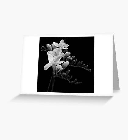 White Freesia Greeting Card
