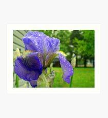First Iris Bloom of the Season Art Print