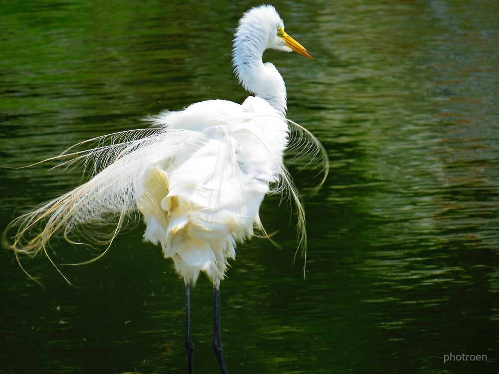 Chinese Egret, Shakin' it's Tail Feathers by photroen