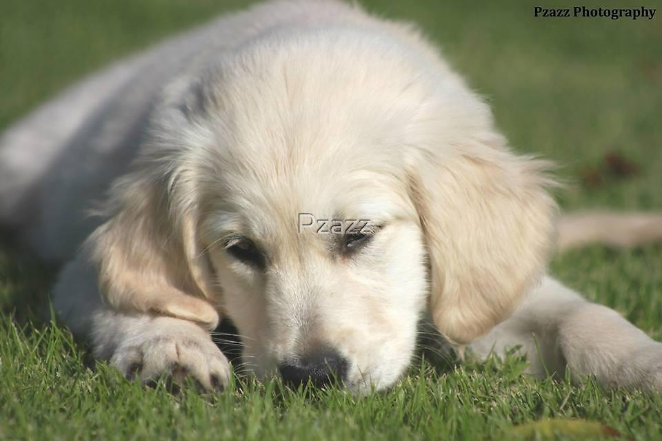 Gorgeous Golden Retriever puppy by Pzazz