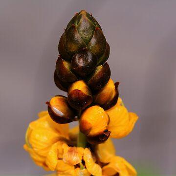 Popcorn Cassia by umpa1