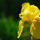 Yellow Iris by Phillip M. Burrow