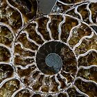 Ammonit mit weißen Streifen von JBlaminsky
