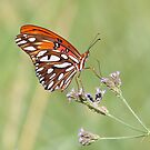 Gulf Fritillary by SuddenJim