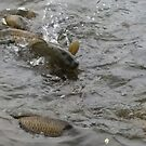 jumping carp by shadowstar86