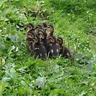 duckling follow the leader by shadowstar86