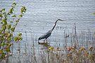 Blue Heron by Richard Williams