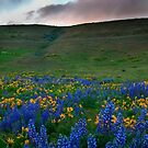 Dalles Ranch,Lupine and Balsam Root by Albert Dickson