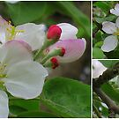 A collage of some apple blossoms in our back yard by Nanagahma