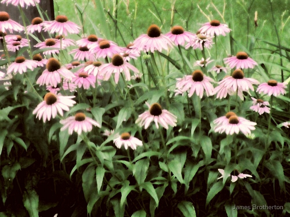 Coneflowers by James Brotherton