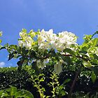 Beautiful White Bougainvillea by Margaret Stevens