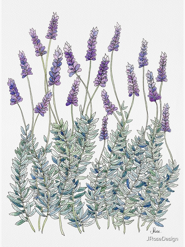 Lavender, Illustration by JRoseDesign