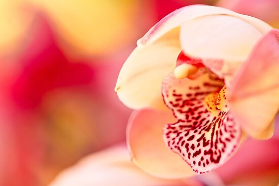 Pink Orchid by bengraham