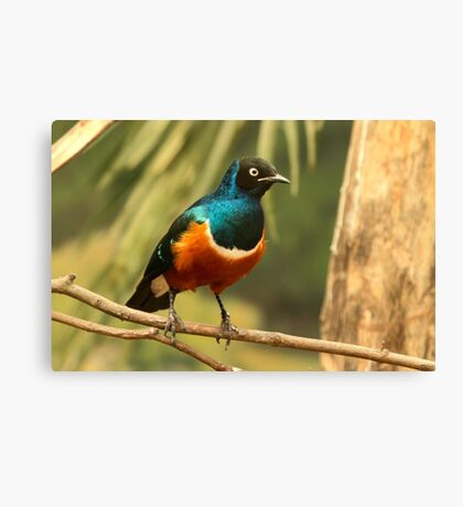 Superb Starling Canvas Print