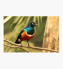 Superb Starling Photographic Print