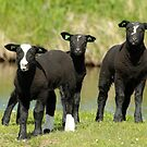 Ba Ba Black Sheep by Robert Abraham
