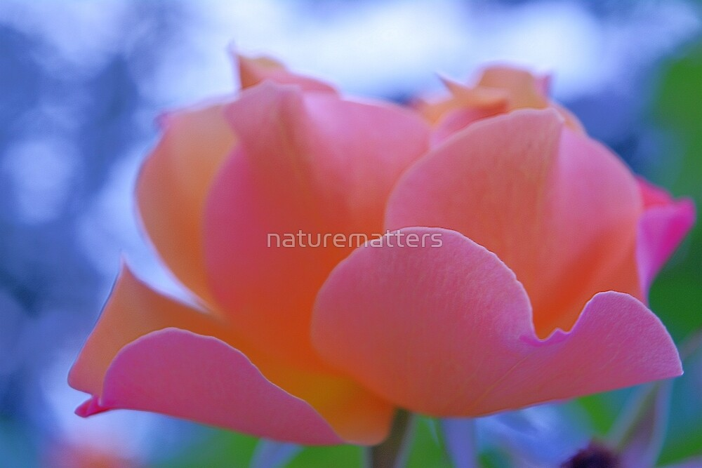 lovely pink rose flower photo art. by naturematters