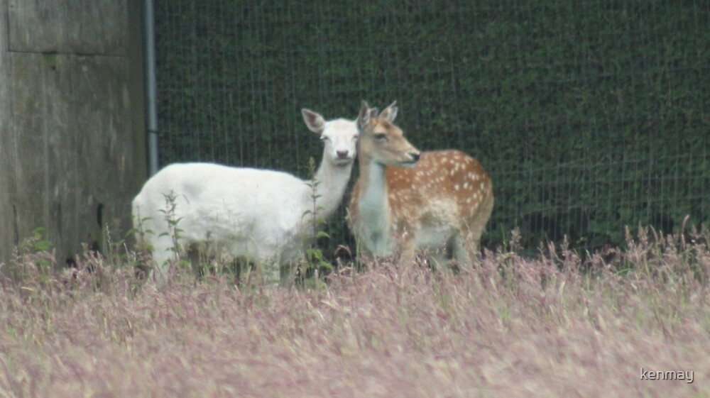 Brown & White Fallow Deer by kenmay