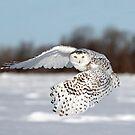 Female Snowy owl in flight by Jim Cumming